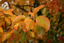 Pyrus-communis-harvest-colouring.JPG