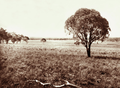 Queensland State Archives 2309 Grazing land at Jimbour Station Darling Downs 1897.png