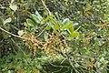Quercus chrysolepis kz04.jpg
