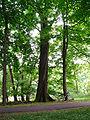 Quercus rubra 2.JPG