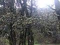 Quercus semecarpifolia 12.jpg