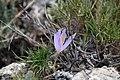 Quitameriendas (Crocus spp.).jpg