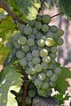 Rózsakő grapes.jpg