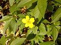 RO BV Anemone ranunculoides 1.jpg