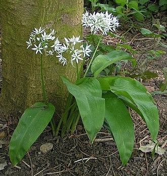 Allioideae - Allium ursinum