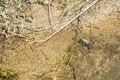 Rana arvalis quitte l'eau d'une douve au parc national des Cévennes près d'Anduze et s'approche d'une groupe des autres grenouilles (1).tif