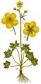 Ranunculus acris - Sturm.png