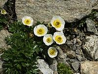 Ranunculus glacialis (habitus).jpg