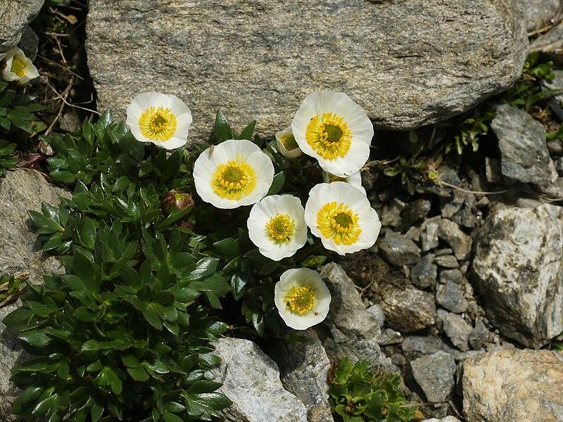 File:Ranunculus glacialis (habitus).jpg