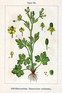 Ranunculus sceleratus Sturm55