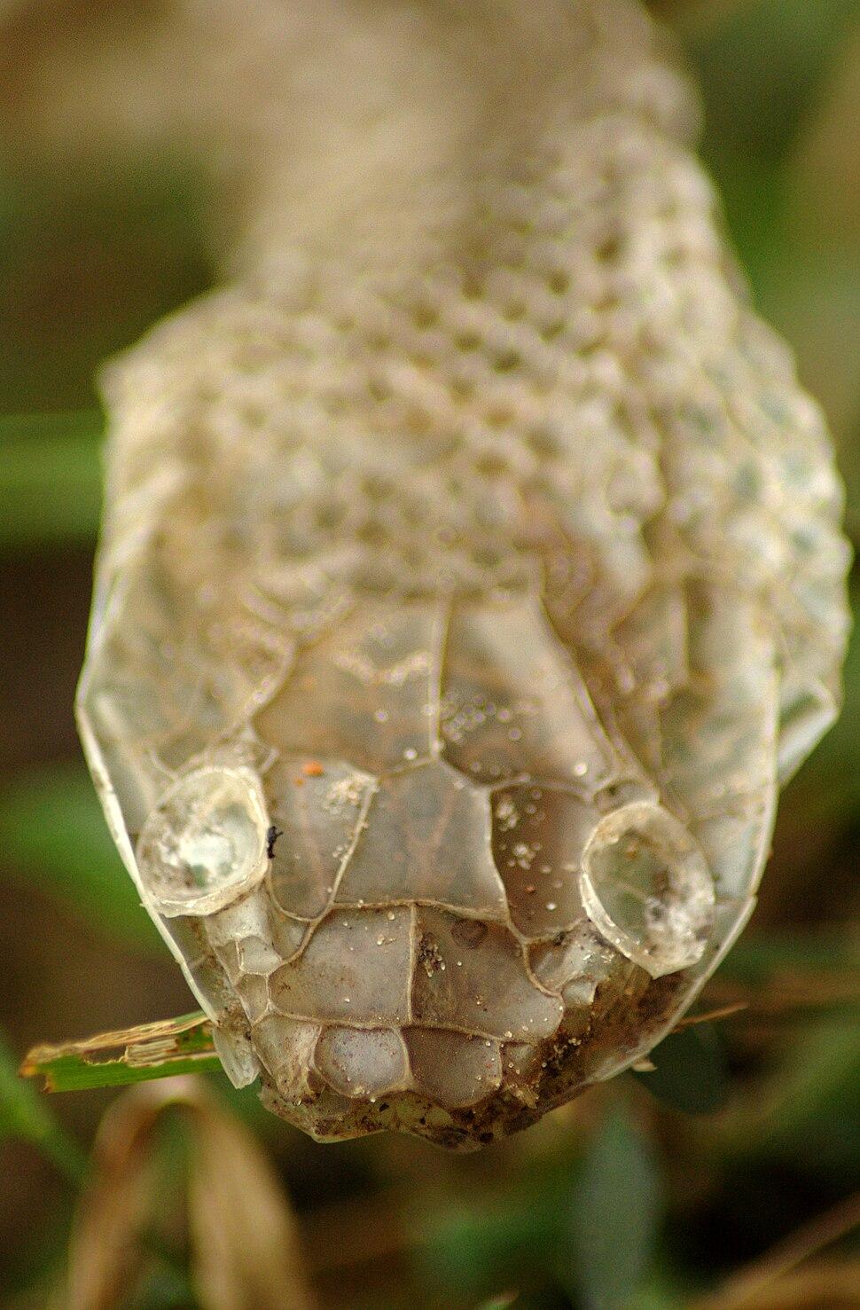 Rat Snake moulted skin
