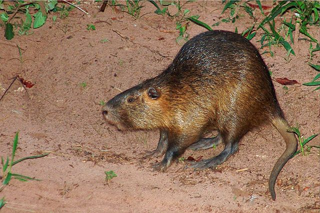 Coypu showing off its weird discrepancy in limb lengths. Image by José Reynaldo da Fonseca, 2006