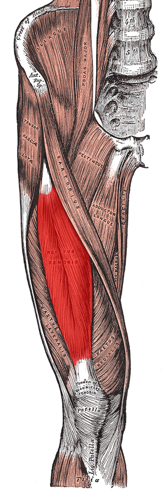 Rectus femoris muscle - Muscles of the iliac and anterior femoral regions. (Rectus femoris visible near center.)