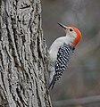 Red-bellied Woodpecker (33186956652).jpg