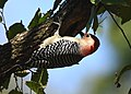 Red-bellied Woodpecker (45208875231).jpg