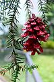 Red-painted Pinus merkusii cone hanging by a metal hook from Araucaria foliage.jpg