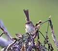 Red backed wren female.jpg