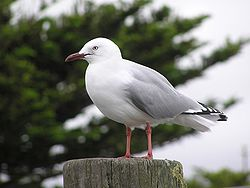 Red billed gull-04.jpg