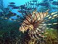 Red lionfish.jpg