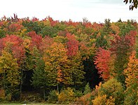 Redmaplefoliage.jpg