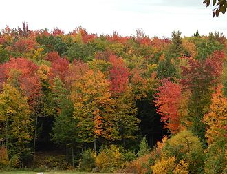 Acer rubrum - Typical fall foliage in red maple country.