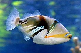 Reef trigger fish. (11111536093)
