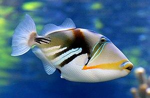 Reef triggerfish - Image: Reef trigger fish. (11111536093)