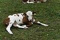 Relaxendes Kalb am Wegesrand Seebachtal 20190820 005.jpg