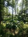 Reuzenberenklauw - panoramio.jpg