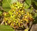 Rhamnus alaternus, manlike blomme, Meiringskloof, b.jpg