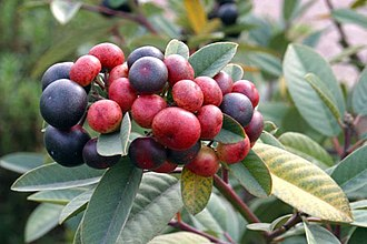 Frangula californica - Ripening fruit.