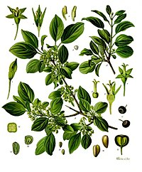 Rhamnus cathartica - Köhler–s Medizinal-Pflanzen-255.jpg