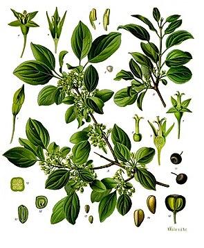 Purgier-Kreuzdorn (Rhamnus cathartica)