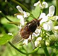 Rhingia campestris - Flickr - gailhampshire (7).jpg