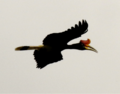Rhinoceros Hornbill 2.tif