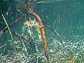 Rhizophora mangle (red mangroves) (San Salvador Island, Bahamas) 6 (15598753449).jpg