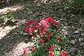 Rhododendron Bixby 1zz.jpg