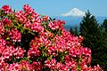 Rhododendrons and Mt. Hood (Yamhill County, Oregon scenic images) (yamD0033).jpg
