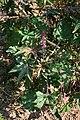Ricinus communis 1.jpg