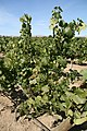 Riesling vines in Washington state.jpg