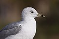 Ring-billed Gull (5820741809).jpg
