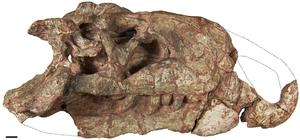 Riojasuchus - Referred skull