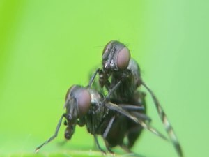 File:Rivellia syngenesiae - copula - 2013-06-15.webm