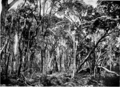 River Banksia in Primer of Forestry Poole 1922.png