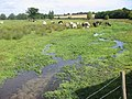 River Ver with cattle at Redbournbury - geograph.org.uk - 42350.jpg