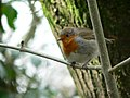 Robin at Decoy Country Park - geograph.org.uk - 720550.jpg