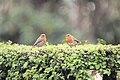 Robins (3431084127).jpg
