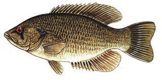 Rock bass Species of freshwater fish