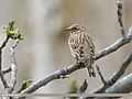 Rock Sparrow (Petronia petronia) (51118994296).jpg