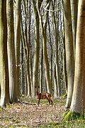 Roe Deer in Black Wood - geograph.org.uk - 1772426.jpg